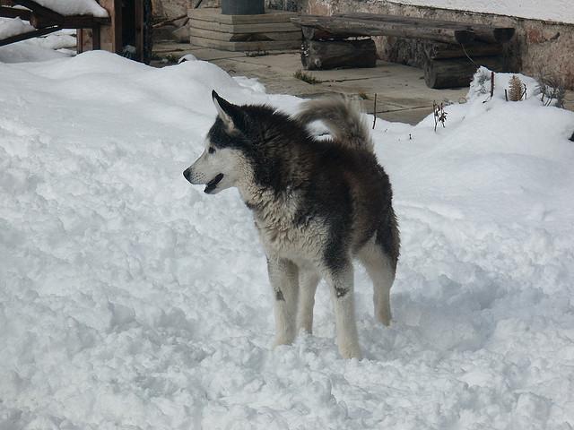 Huskies Don't Need To Wear Winter Gear